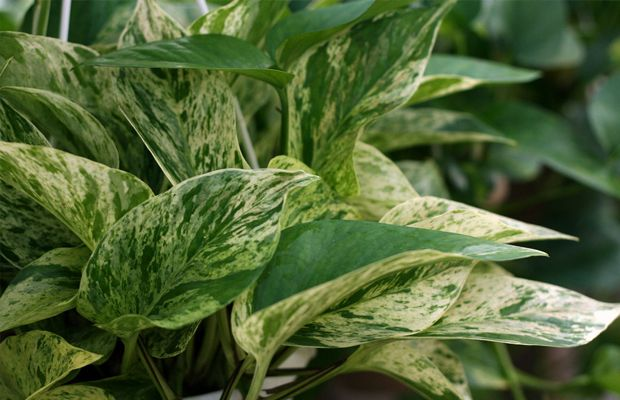 10 plantas comuns que purificam o ar da sua casa, segundo estudos da NASA