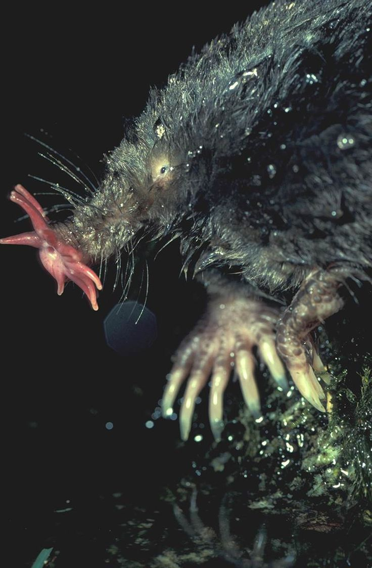 """Star Nosed Mole Star Nosed Mole Tenacies c. crista--a small carnivorous mammal native to eastern North America. Star-nosed moles have water-repellent fur, perfect for the marshes they inhabit, and a thick tail that engorges with fat during the winters. It has a limited sense of sight and uses its peculiar snout. The """"star"""" is comprised of 22 hyper-sensitized tentacles that help track and consume prey. It also blows and re-inhales air bubbles underwater as fast as 5-10 times/second to track…"""