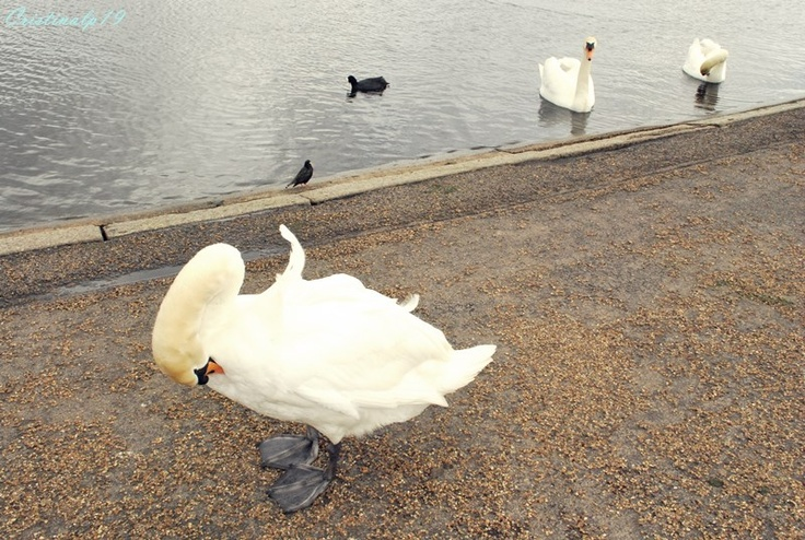 #Londres #London #Travel #Lago #Water #Agua #Ducks #Patos