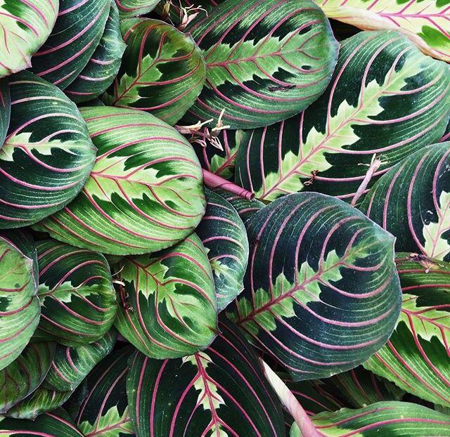 Best 25 prayer plant ideas on pinterest calathea for Prayer palm plant