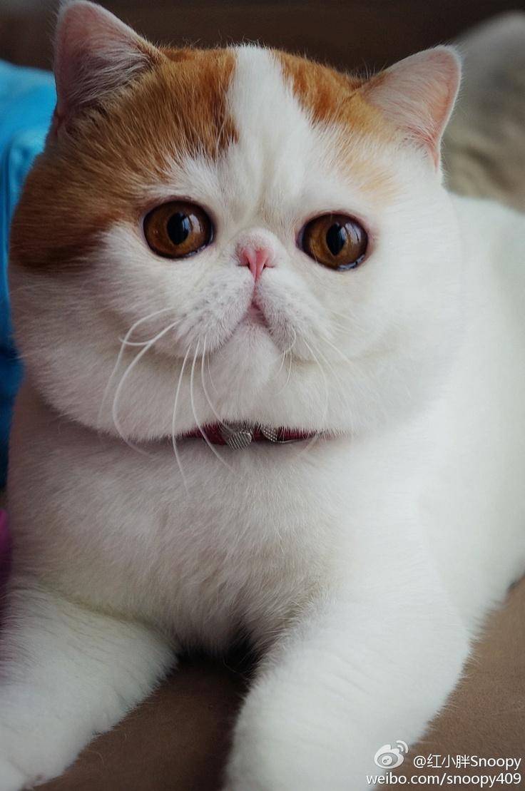 было коты с приплюснутой мордой порода и фото иногда