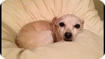 Pictures of 'Phillis' a senior female Chihuahua for adoption at Animal Compassion Team, Fresno, CA who needs a loving home.