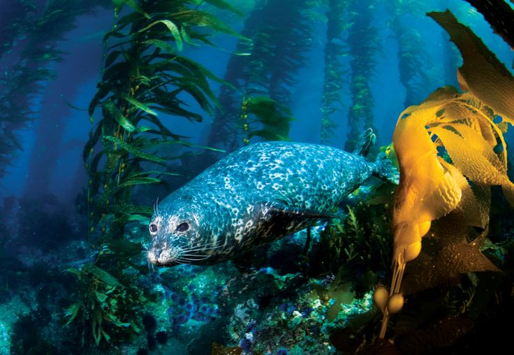 A Harbor Seal glides through a kelp forest beneath the Pacific waves in the Channel Islands National Park off the Southern California coast.  Ranging from the western tip of San Miguel Island to the east end of Anacapa. The park encompasses nearly 250,000 acres above and below, and is made up of four individual islands in the upper channel island chain – San Miguel, Santa Rosa, Santa Cruz and Anacapa.