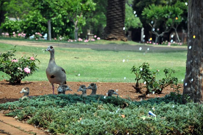 Egyptian Geese at the Venning Park in Pretoria. The park is the oldest in Pretoria, and has more than 3000 rose bushes. (ACPhotography)