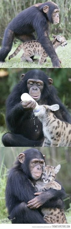 Humans aren't the only ones that adopt…♥ chimp adopts a cheetah.