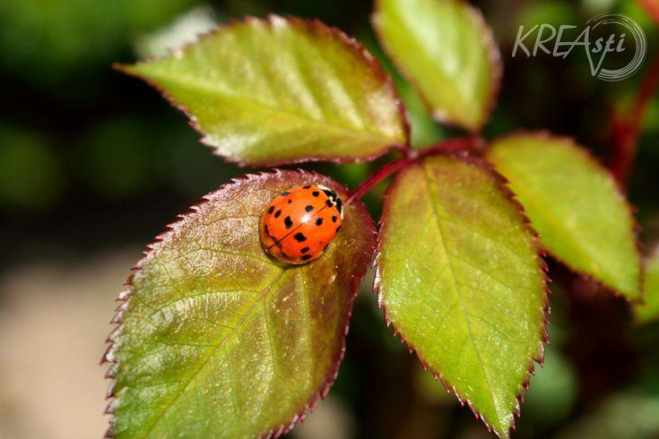 Harmonia axyridis (Asiatischer Marienkäfer) Na wenn das kein gutes Zeichen ist. Der erste Marienkäfer der mir in diesem Jahr vor die Linse gekommen ist. Seit jeher gilt der Marienkäfer im Volksmund…