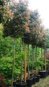 Photinia Red Robin Pleached, Paramount Plants and Gardens - buy online