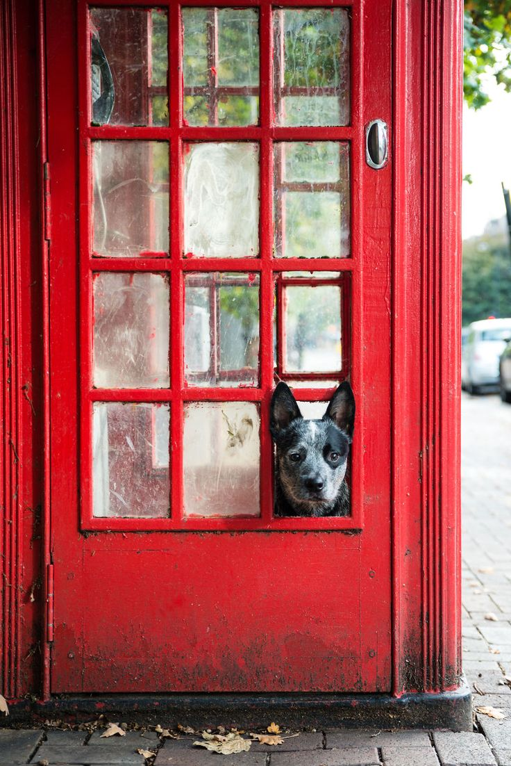 Rupert is an Australian Cattle Dog that follows his master around the City of London.  Rupert has a great life because he can catch a ride in a taxi, bus or on the Tube.  When he is tired, he can enjoy a local pub.