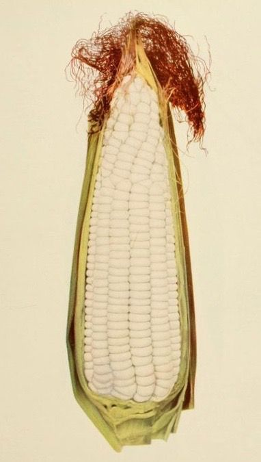 Adams Early, corn variety.The vegetables of New York. 1928.