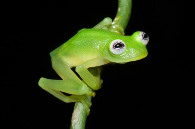 MSN today 4/21/15 New glass frog species resembles Kermit the Frog - UPI.com