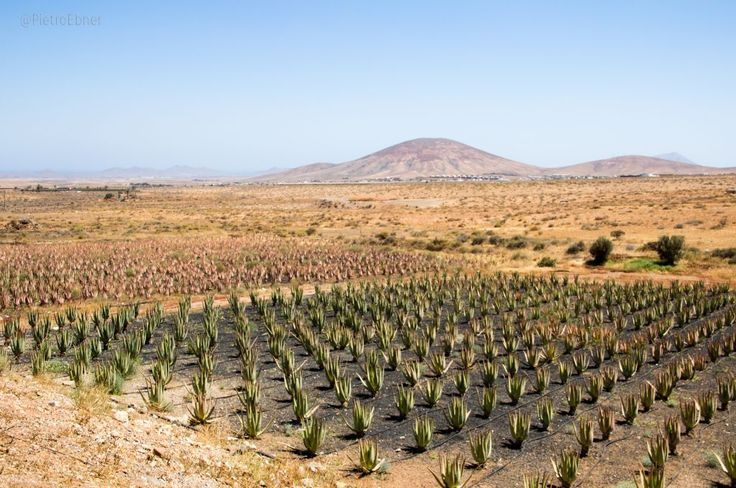 #Aloe #vera fields #fuerteventura