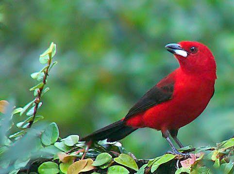 Desmatamento e Extinção das espécies: Algumas aves brasileiras que estão ameaçadas em extinção