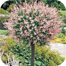 Salix integra Hakuro-nishiki (Bonte wilg)