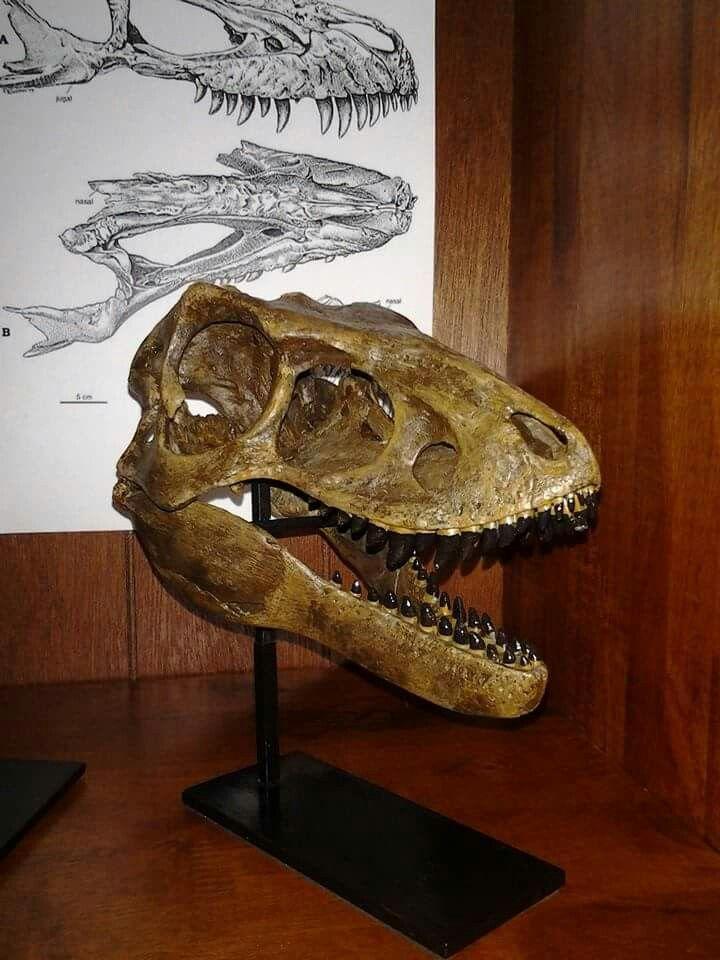 Crâne de Snarly, le jeune T. rex, âgé de 8 à 10 mois