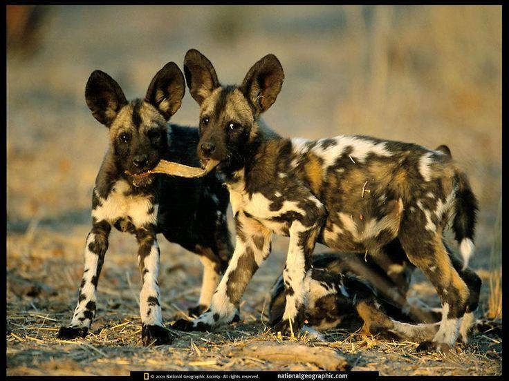 skrivbordsunderlägg - Vilda djur: http://wallpapic.se/national-geographic-bilder/vilda-djur/wallpaper-37881