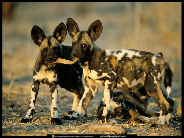 African Wild Dogs (African Hunting Dog, Cape Hunting Dog, Painted Dog, or Painted Wolf)