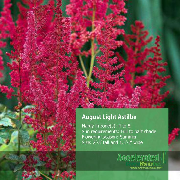 August Light Astilbe