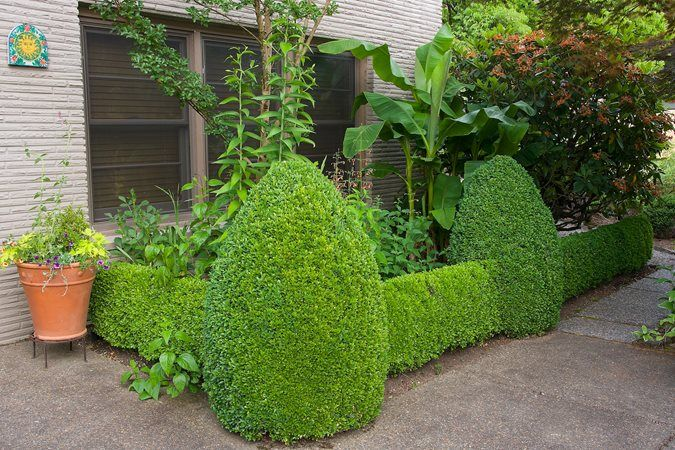 Buxus sempervirens (English boxwood) - Photo by: Janet Loughrey.