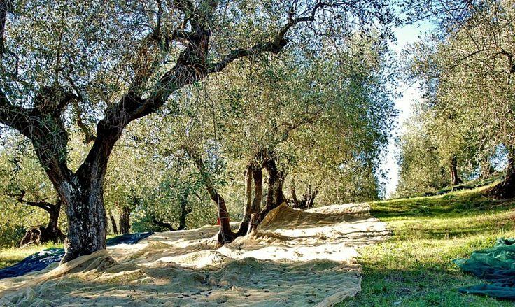 Il Movimento #Turismo del #Vino Italia si espande Nasce il movimento Turismo dell'Olio, A MASSERIA TORRE COCCARO a Brindisi, Italy ci sarà il primo evento, scopri quando!