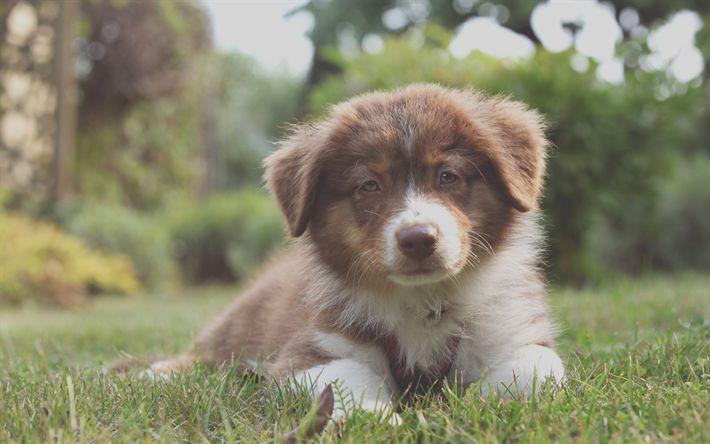 Download wallpapers Aussies, 4k, puppy, pets, dogs, Australian Shepherds, cute animals
