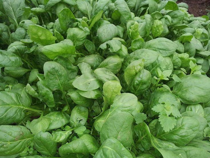 Cultivo de espinacas | Plantas