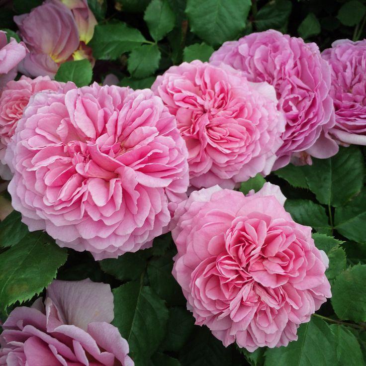 Resultado de imagen de preciosas rosas.
