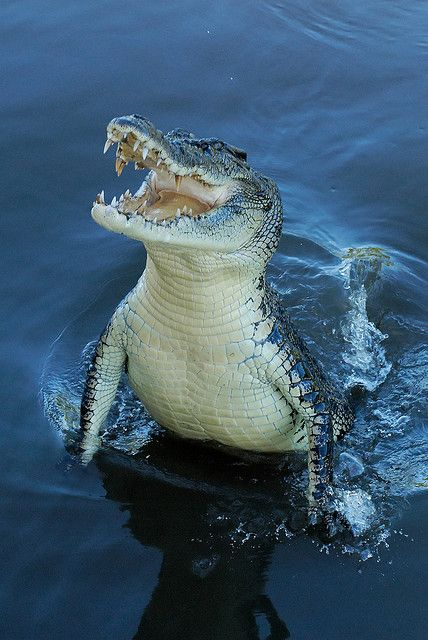 Crocodile surging out of the water.