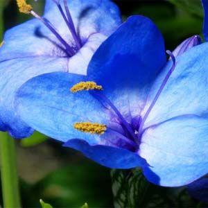 Resultado de imagem para imagens de flores azuis