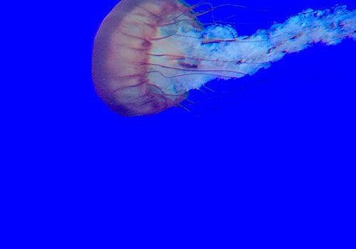 Pacific Sea Nettle - Apr 2014