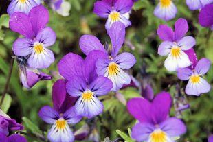 Slik lykkes du med Stauder » Plantasjen - Alt for hagen din