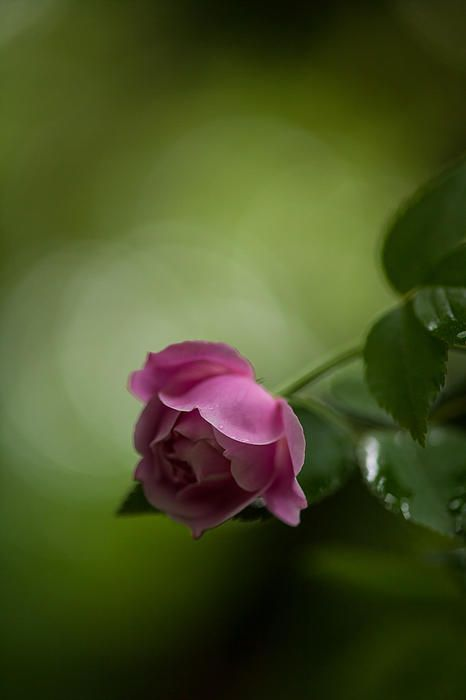 Delicate soft pink rose closeup. Zeiss 50mm