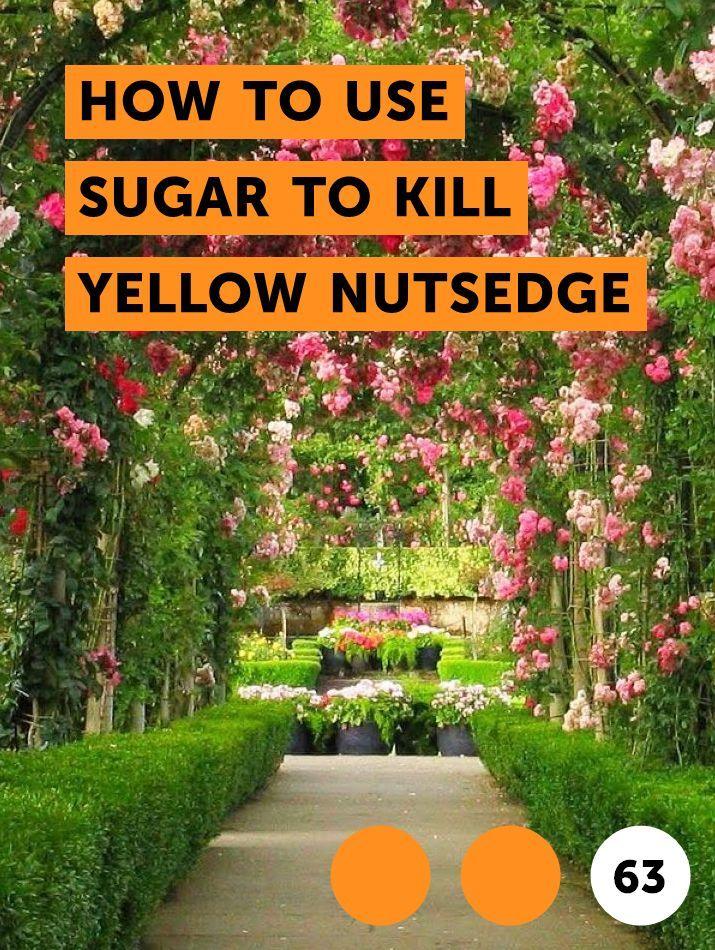 How to Use Sugar to Kill Yellow Nutsedge Getting rid of yellow