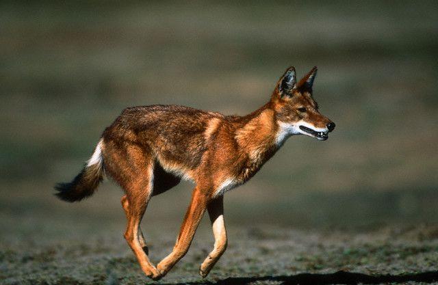 21 best Ethiopian Wolves images on Pinterest   Ethiopian ...
