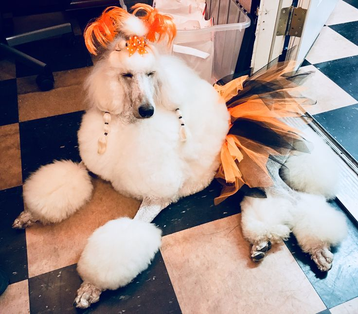 Best 25 Poodle Grooming Ideas On Pinterest Poodle Cuts