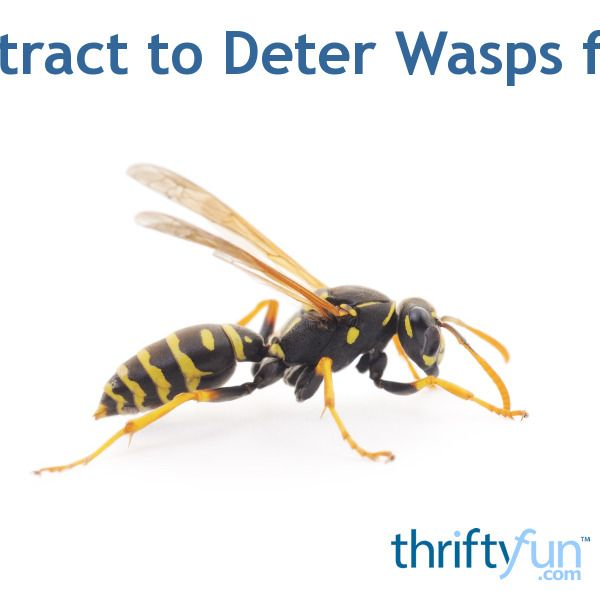 Best 25 Bees And Wasps Ideas On Pinterest Are Bees Insects Bees And Honey Bee Facts