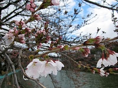 臥竜公園・桜開花状況 4/7(咲きはじめ) 臥竜公園・桜開花状況 4/7(咲きはじめ) | Sa
