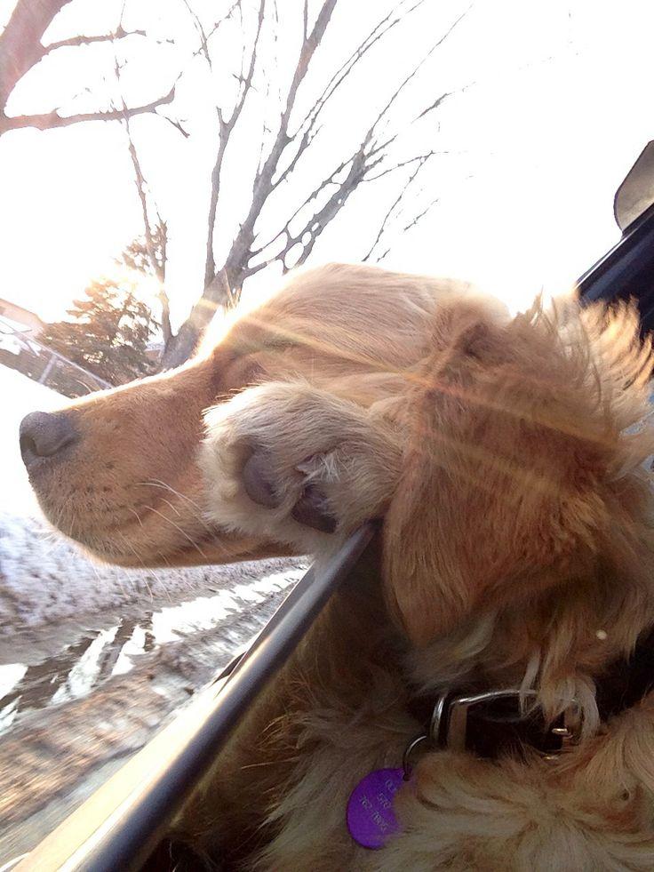 Golden Retriever Puppy:)