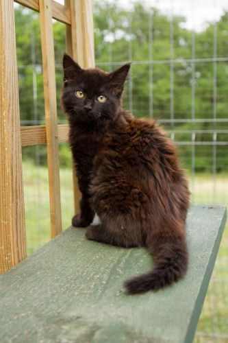 17 id es propos de chats poils longs sur pinterest chats chats roux et chatons duveteux. Black Bedroom Furniture Sets. Home Design Ideas
