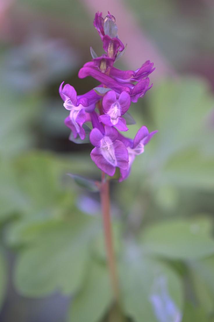 wild orchid in my garden