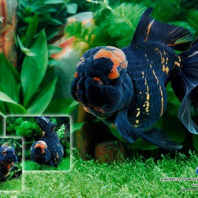 69 best images about Goldfish on Pinterest