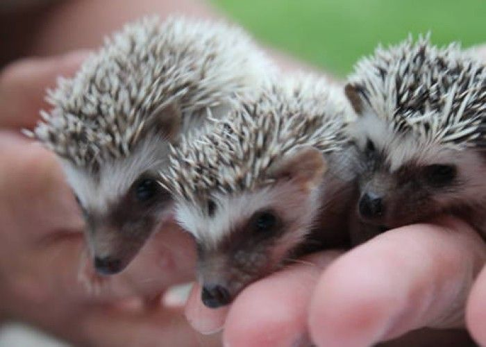 "baby hedgehog pictures real to print | African~Pygmy~Hedgehog} ""BABY'S"" for Sale in Silver Lake, Indiana ..."