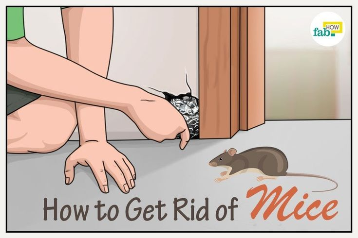 How to get rid of mice fast 5 poisonfree methods