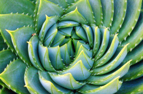 L'Aloe vera cicatrise les tissus et les organes