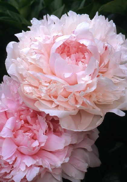 """MYRTLE GENTRY, 1925  Often called the most fragrant peony of all.  Memorial Day, """"Decoration Day"""" memories."""