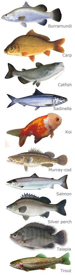Discussion of which fish to use with aquaponics.