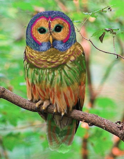 Rainbow Owl    The Rainbow Owl is a rare species of owl found in hardwood forests in the western United States and parts of China. Long coveted for its colorful plumage, the Rainbow Owl was nearly hunted to extinction in the early 20th century. However, due to conservation efforts, recent years have seen a significant population increase, particularly in northwestern Montana    Dr. Claudia Weatherfield, University of Toldeo