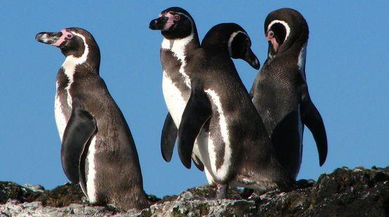 Gros plan sur un groupe de manchots de Humboldt au Chili (Signez pour sauver 26.000 manchots de Humboldt !
