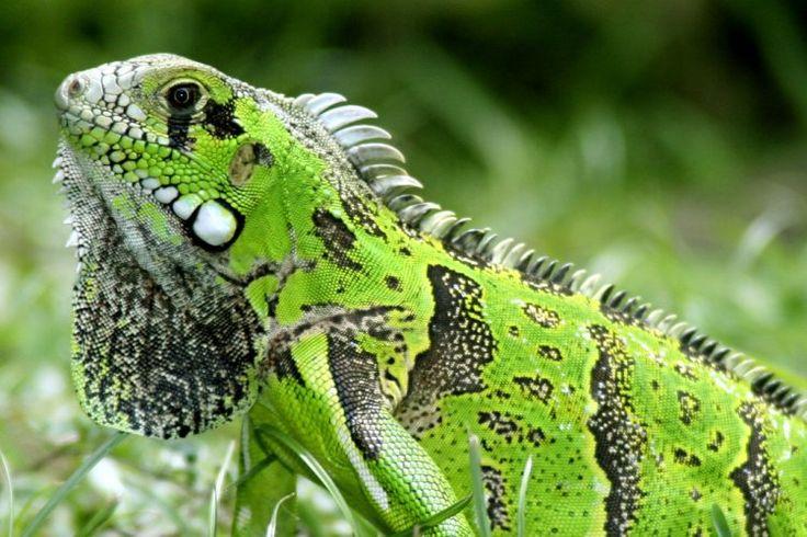 Animais Selvagens: Iguana Verde
