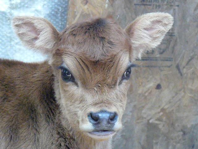 Oh my, a mini jersey calf!