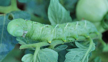 Tomato Hornworm & How to Get Rid of It. Turn soil before planting. Look for white eggs under the leaves. Remove the worm and place in bucket of water. Plant marigolds around peppers and tomatoes.
